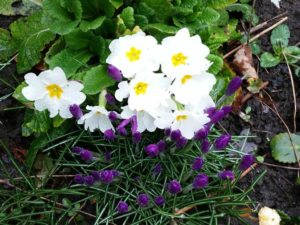 Flowers, primrose and crocus blooming in spring