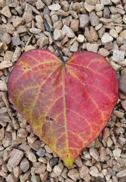 Autumn coloured heart shape leaf to represent love this valentine's day